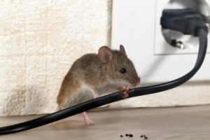 Mice Control, Pest Control in Barkingside, Hainault, IG6. Call Now 020 8166 9746
