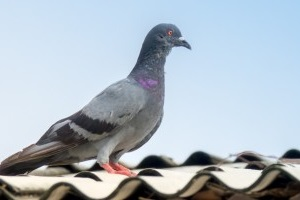 Pigeon Pest, Pest Control in Barkingside, Hainault, IG6. Call Now 020 8166 9746